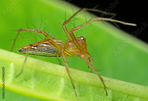 Macro Photo of Jumping Spider on Green Leaf Canvas Print