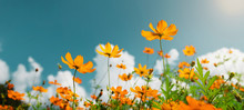 Yellow Flower Cosmos Bloom Wit...