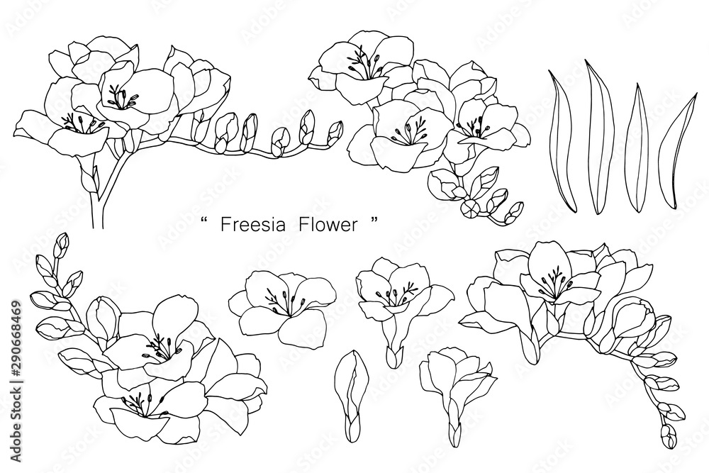 Fototapeta Freesia flower and leaf drawing illustration with line art on white backgrounds.