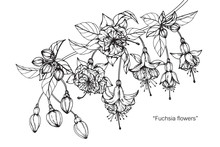 Fuchsia Flower And Leaf Drawing Illustration With Line Art On White Backgrounds.