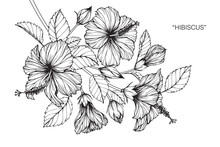 Hibiscus Flower And Leaf Drawing Illustration With Line Art On White Backgrounds.