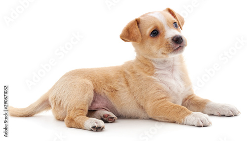 Photo sur Toile Amsterdam Brown beautiful puppy.