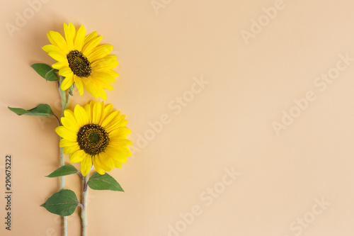 Photo sur Aluminium Tournesol Two beautiful decorative yellow sunflowers on orange pastel background.