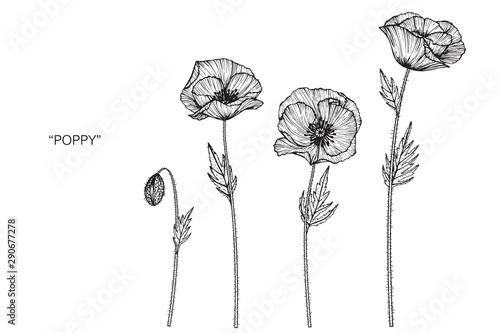 Poppy flower and leaf drawing illustration with line art on white backgrounds. - 290677278