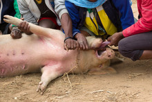 Pig On A Local Malagasy Market...