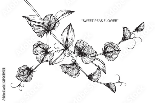 Sweet pea flower and leaf drawing illustration with line art on white backgrounds Canvas Print