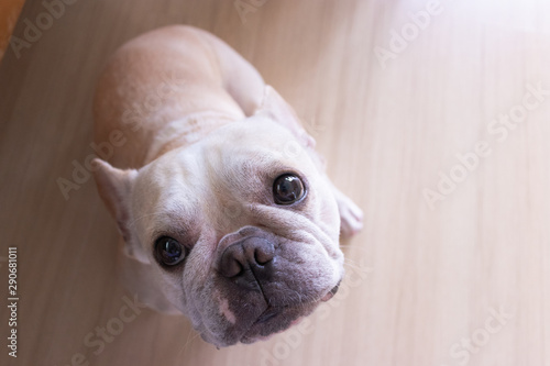 Spoed Fotobehang Franse bulldog Set of young puppy french bulldog playing and activity around the house both indoor and outdoor