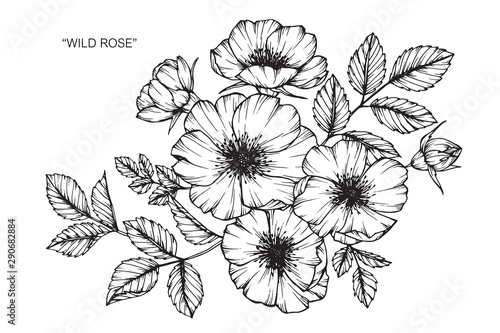 Wild rose flower drawing illustration with line art on white backgrounds. - 290682884