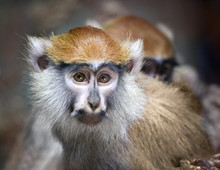 Portrait Of Patas Monkey From ...