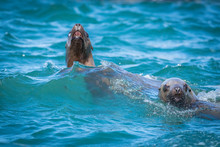 Sea Lions In The Sea, Sakhalin...
