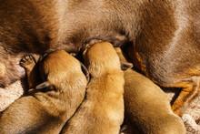 Little Dachshund Mom Feeding P...