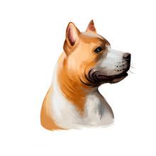 American Pit Bull Terrier Dog ...