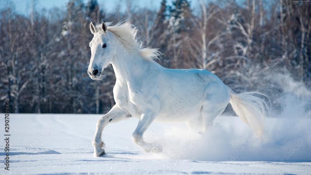 Fototapety, obrazy: white horse in snow