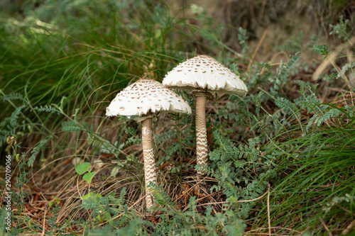 Vászonkép Two Parasol mushrooms in a pine forest in South Tyrol