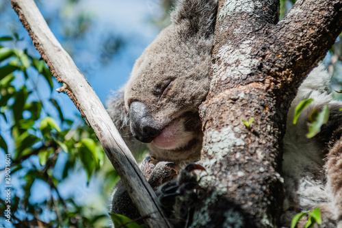 Foto auf Leinwand Koala closeup of koala in tree