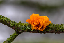 Yellow Brain, Golden Jelly Fungus, Yellow Trembler, Or Witches' Butter