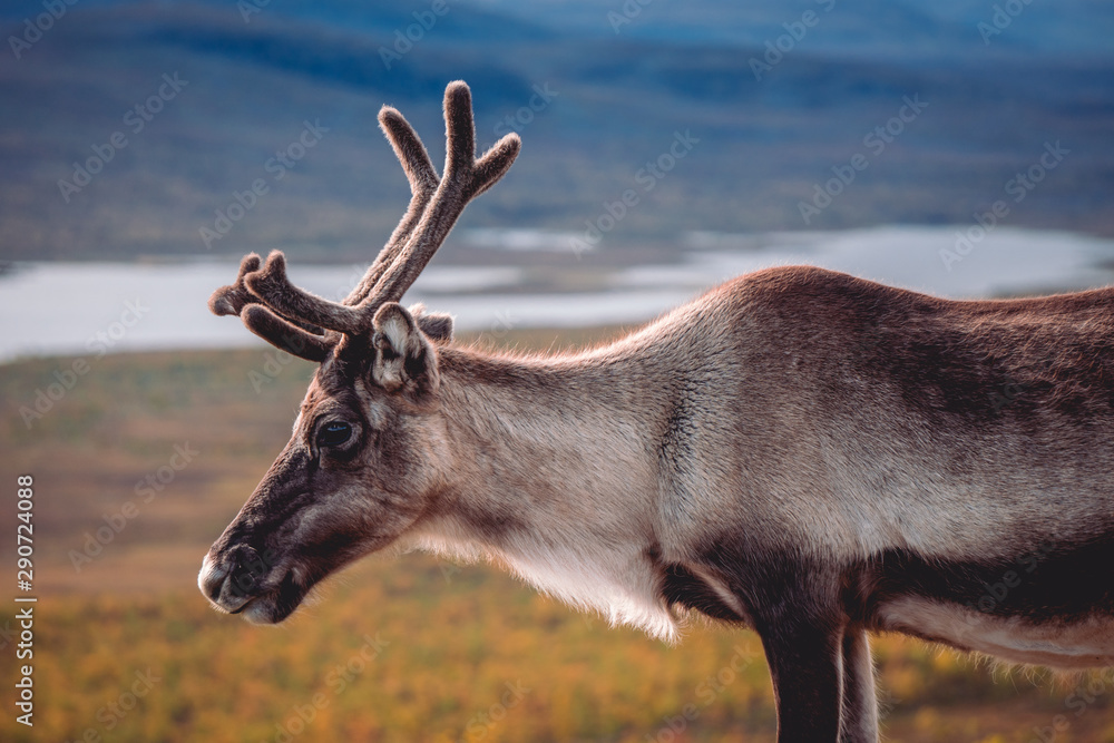 Fototapeta Male reindeer looking down into a valley on lakes and trees during autumn