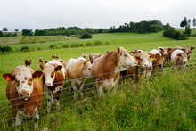 Lots Of Cows Along A  Fence In A Farm Field