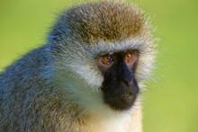 Vervet Monkey, Chlorocebus Pygerythrus, Lake Naivasha, Africa
