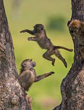 Young Baboons Playing, Masaima...