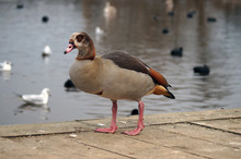 Egyptian Geese Standing On Its...