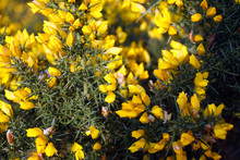 Close Up Of Yellow Gorse Flowers