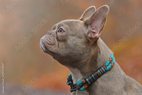Foto op Plexiglas Franse bulldog Profile side view of a rare colored lilac brindle female French Bulldog dog with light amber eyes wearing a self made colorful rope collar