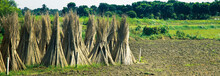 Cultivation Of Jute In India. ...