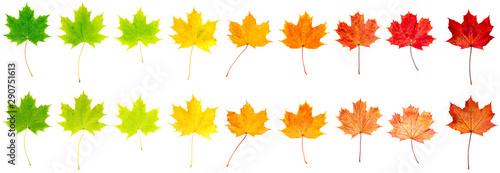Photo bunte Ahornblätter liegen auf weißem Hintergrund, Vorderseite und Rückseite, Fre