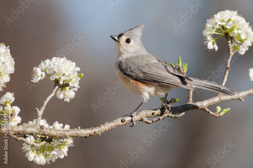 Spoed Fotobehang Vogel Tufted Titmouse