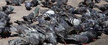 Urban Lonely Pigeon Walks Alon...