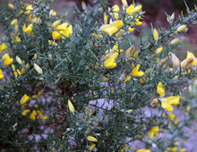 Close Up Of Gorse Flowers Ulex