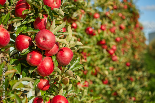 Shiny delicious apples hanging from a tree branch in an apple orchard - 290769065