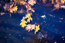 Winter And Autumn Natural Background With Fallen Leaves Frozen In Ice
