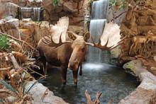 Bull Moose Standing In Stream ...