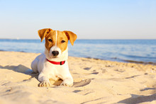 Funny Looking Jack Russell Terrier Puppy At The Sandy Beach With Soft Sunset Light. Adorable Four Months Old Doggy With Curious Eyes Over Ocean View Background. Portrait, Close Up, Copy Space.