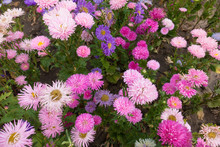 A Lot Of Pink And Violet Flowers Of China Aster