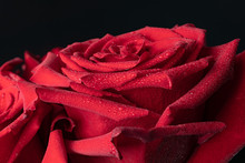 On A Bright Red Rose With Clear Lines Of Delicate Petals Strewn Many Small Sparkling Drops Of Water.