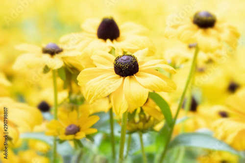 Original close up photo of yellow Black Eyed Susan flowers growing in the garden Slika na platnu