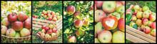 Collage Of Photos Apple Garden...