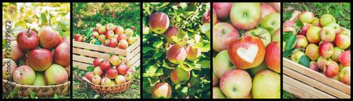 Collage of photos apple garden. Selective focus. - 290799672