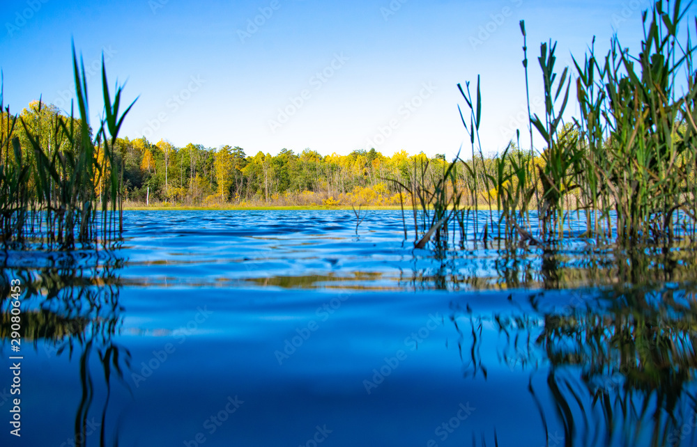 Fototapety, obrazy: Sunny morning. Autumn forest near the blue lake. Low angle view with reeds in the foreground.