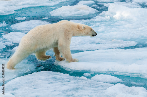 Deurstickers Ijsbeer Large polar bear walking on the ice pack in the Arctic Circle, Barentsoya, Svalbard, Norway
