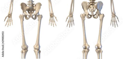 Human Anatomy, hip, limbs and hands skeleton Obraz na płótnie