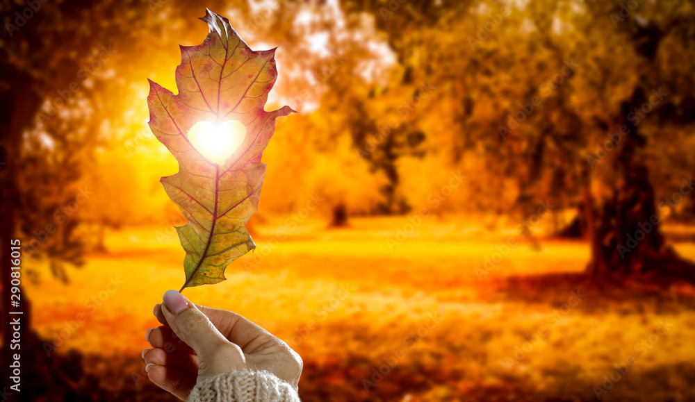 Fototapeta Autumn background with leaf held in woman's hand and with beautiful gold sunlight. Heart cut in leaf.