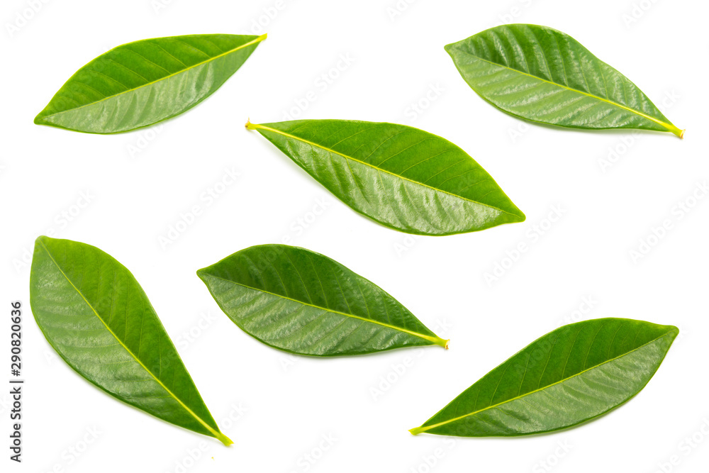 Fototapety, obrazy: A group of beautiful and fresh rose leaves are isolated against a white background.
