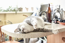 Naughty Grey And White Cat Lying On Kitchen Table On A Sunny Day At Home.