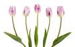 Five beautiful lilac tulips