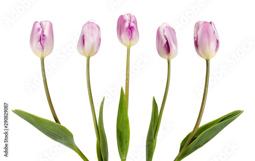 Tuinposter Tulp Five beautiful lilac tulips