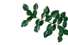 Tropical Herbal Plant Kaffir Lime (Citrus Hystrix) Dark Green Leaves Tree Twig With Thorns Isolated On White Background, Clipping Path Included.